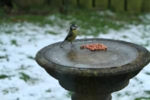 Bird on frozen bird bath with seeds